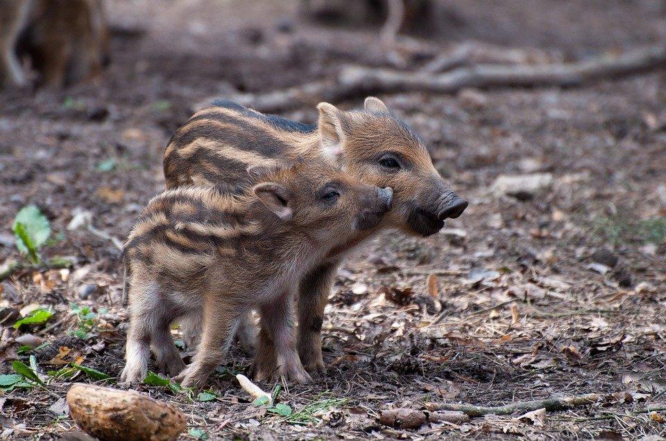 Mladé prasiatka majú roztomilé prúžky a viacerí z nás by si ich vedeli predstaviť ako domáce zvieratko :)