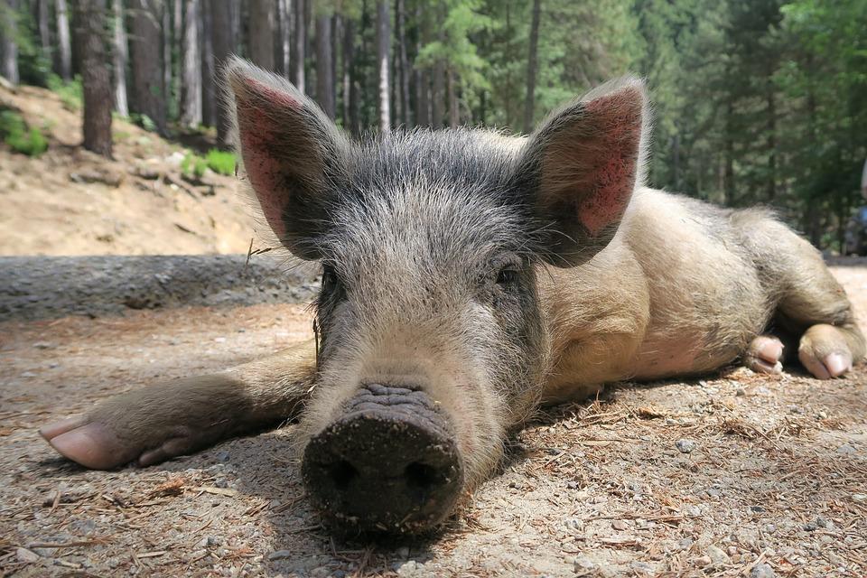Malé Karpaty sú diviakov plné. Sú síce plaché a väčšinou zbadajú skôr vás, ako vy ich, ale ak budete v lese ticho, nie je až také ťažké ich stretnúť.